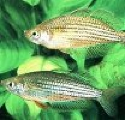 Дъгоцветна рибка