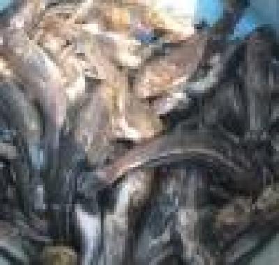Заловиха криминално проявени бракониери с над 100 кг риба