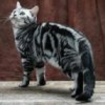 Американска късокосместа котка