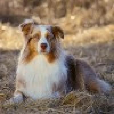 Австралийско овчарско куче