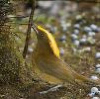 Беседкова птица