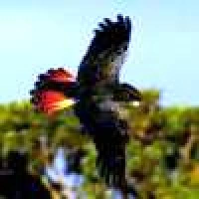 Какаду червеноопашато