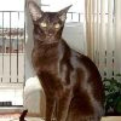 Хавана браун котка