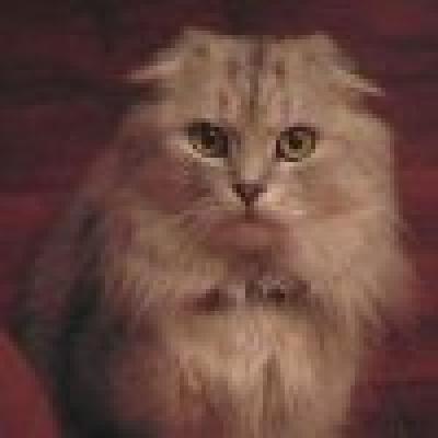Хайленд фолд котка