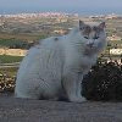 Малтийска котка