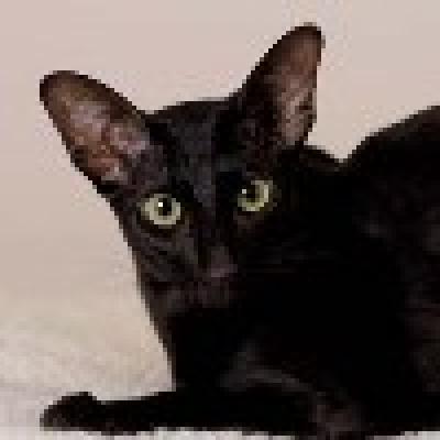 Ориент източна котка
