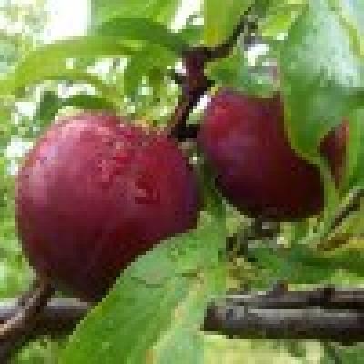 Овощни култури