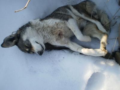 Убиват бездомни кучета в гр. Стражица, снимка3