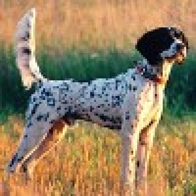 Немско куче пъдпъдичар