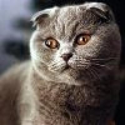 Скотиш фолд котка