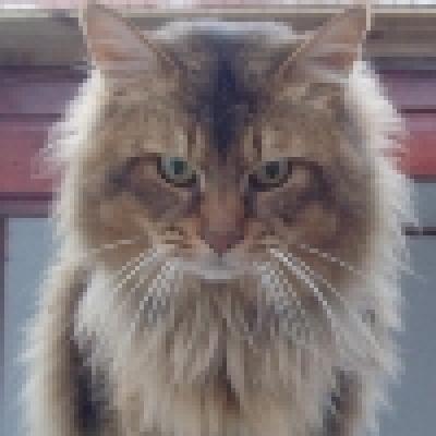 Сомалийска котка
