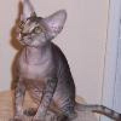 Сфинкс котка