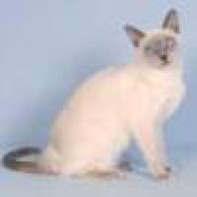 Тонкинска котка