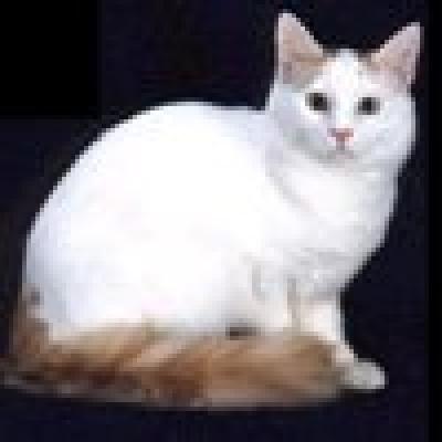 Турски ван котка