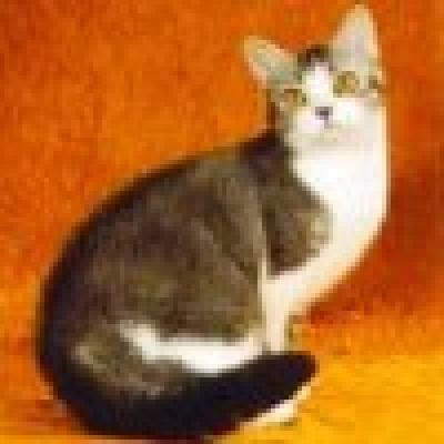 Американска твърдокосместа котка