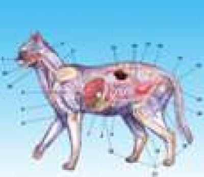 Морфология, анатомия и физиология на котката