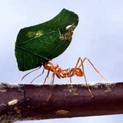 Мравка шивач
