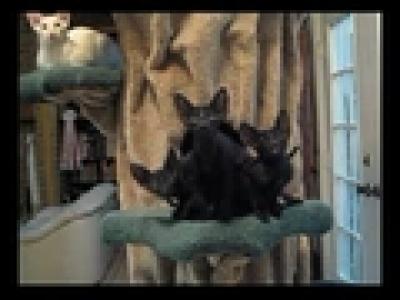 Танцуващите котки