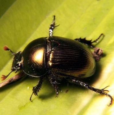 Торен бръмбар