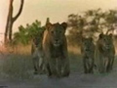 Лъвове срещу хиени битка- клип
