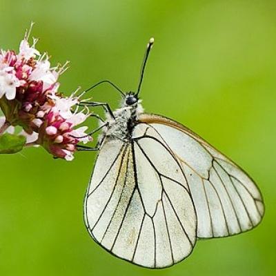 Копринена пеперуда